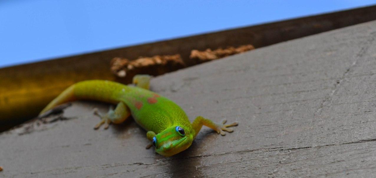 Little Green Gecko