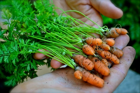 My itty-bitty carrots from the garden.