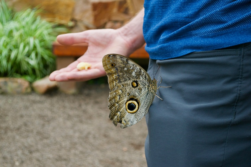 Sasha held out his hand with a banana offering but the mariposa went for his wallet instead!