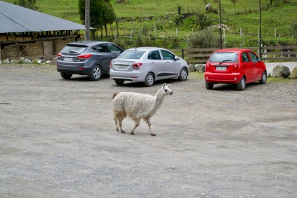 Just an alpaca crossing the car park, no big deal. That's our little Put Put Red in the background!