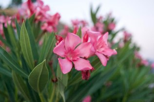 Pink azaleas are everywhere in Greece!